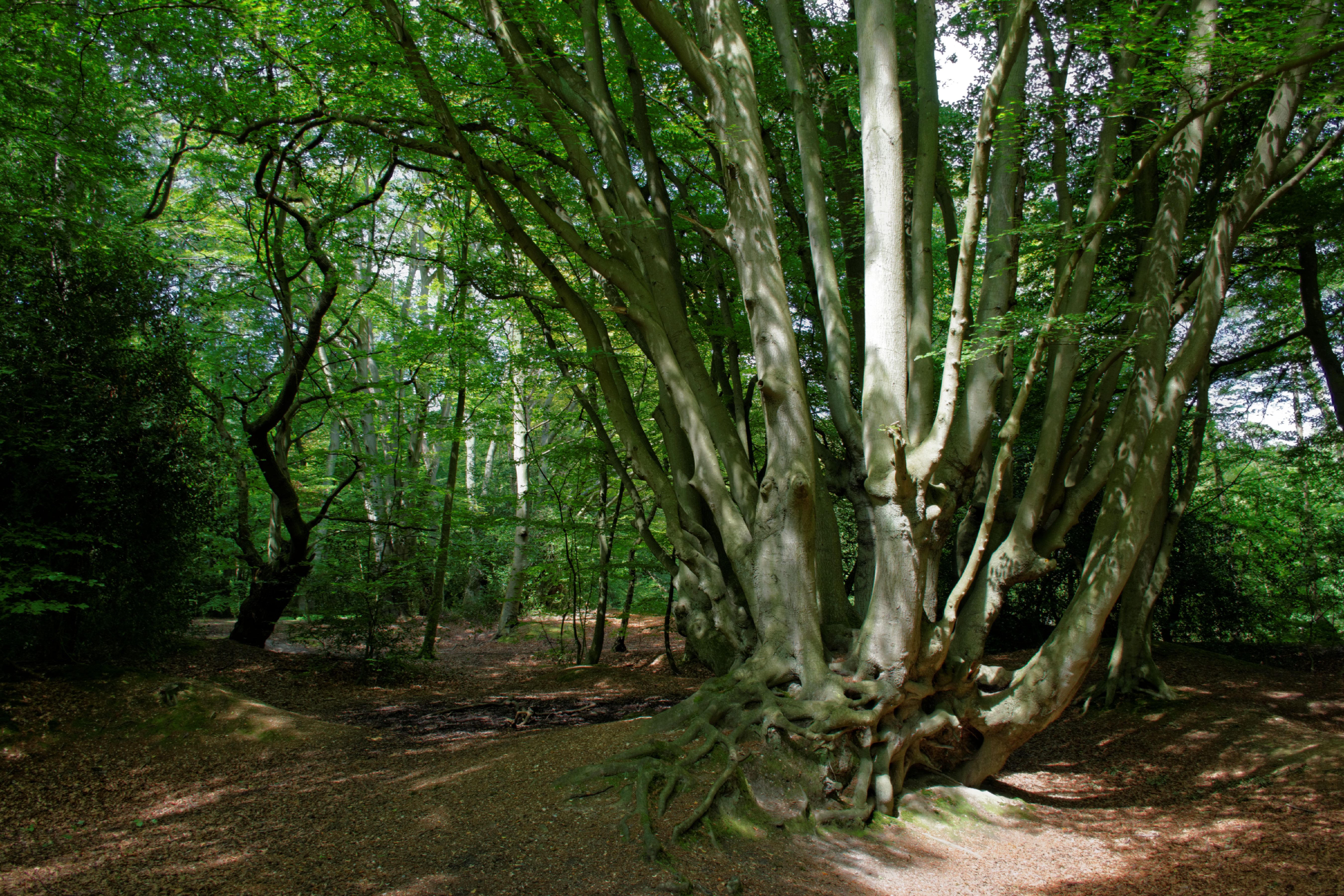 Beech Coppice, Epping Forest
