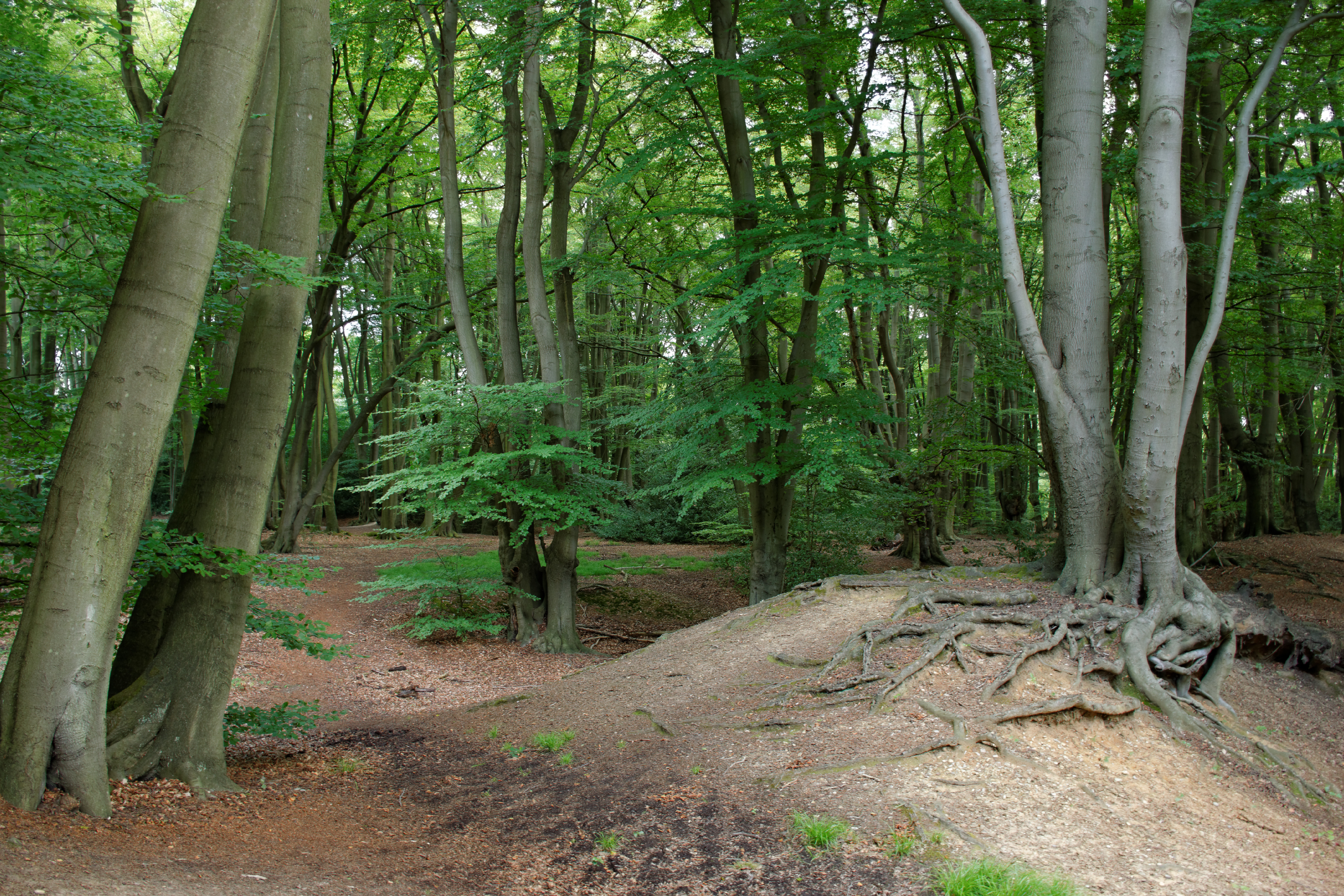 Loughton Camp, Epping Forest