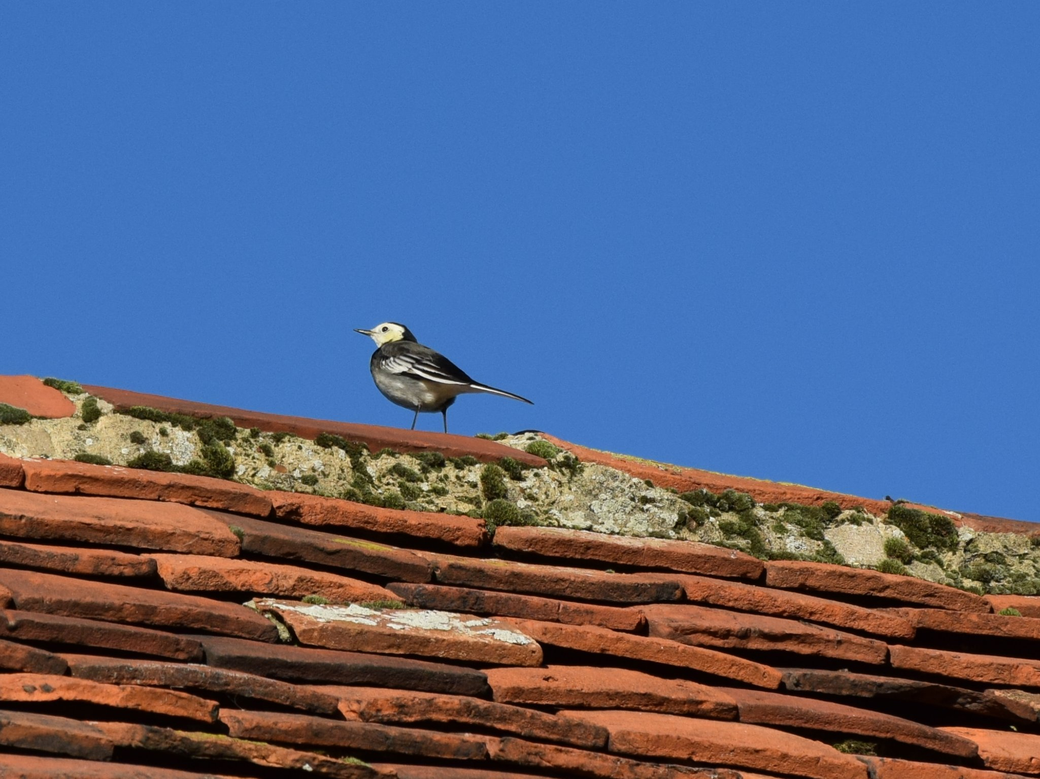 Pied Wagtail - Roof of St Mary, Ovington